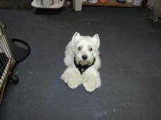 Traditional West Highland Terrier cut