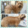 Australian Terrier Before & After